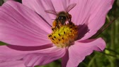 cera de abelha : Bee in work on Pink Summer Flower