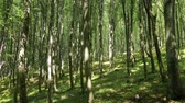 natural : 4K Temperate Climate Deciduous Summer Forest - Beech Trees Fagus