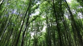 de faia : 4K Temperate Climate Deciduous Summer Forest - Beech Trees Fagus