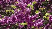 blossoming : 4K Lilac Tree Shrub Spring Syringa Vulgaris