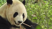 chengdu : Panda in Chengdu Sichuan China Stock Footage