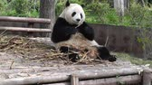 giant panda : Panda in Chengdu Sichuan China Stock Footage