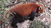 menace : Red Panda Ailurus Fulgens également connu comme le petit panda ou Red Cat-ours à Chengdu Sichuan en Chine, originaire de l'Himalaya oriental et sud-ouest animal omnivore China.Vulnerable.