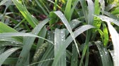 orvalho : Dew on Lush Strong Tropical Grass