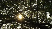 nozes : 4K Sunrise through Walnut Tree Leaves Timelapse