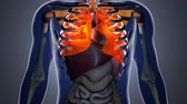 climatizzatore : 4K Human Body Organs and Transparent Throax System Modern Anatomical 3D Animation Filmati Stock