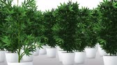 narkotik : Cannabis Plants 3D Animation 1