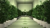 narkotik : Cannabis Plants in Cultivation Room Animation 1