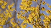 witch hazel : Witch hazel (Hamamelis x intermedia) Stock Footage