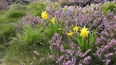 funda : Daffodils (Narcissus) and winter heather (Erica carnea syn. Erica herbacea)