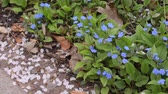 blooming : Blue-eyed Mary (Omphalodes verna) Stock Footage