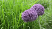 spring onion : Giant allium (Allium Globemaster) Stock Footage