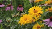 heliopsis : False sunflower (Heliopsis helianthoides var. scabra Venus), purple cone flower (Echinacea purpurea Magnus) and bumble bee (Bombus)