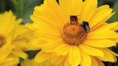 heliopsis : False sunflower (Heliopsis helianthoides var. scabra Venus) and bumble bees (Bombus)