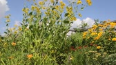 heliopsis : Shiny cone flower (Rudbeckia nitida Juligold) and false sunflower (Heliopsis helianthoides var. scabra Venus) Stock Footage