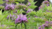 melisa : Lemon bee balm (Monarda citriodora) Stok Video