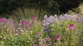 melisa : Spider flower (Tarenaya hassleriana syn. Cleome hassleriana), phlox (Phlox) and bee balms (Monarda) Stok Video