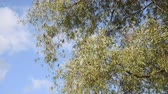 salgueiro : White willow (Salix alba)