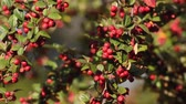 Diffondere cotoneaster (Cotoneaster divaricatus)