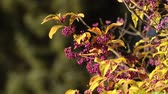 Beautyberry giapponese (Callicarpa japonica) Filmati Stock