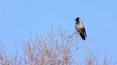 cornix : Hooded crow (Corvus corone cornix) sitting on a bare tree and flying away
