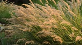метелка : Feather grass (Stipa calamagrostis syn. Achnatherum calamagrostis) Стоковые видеозаписи