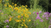 heliopsis : False sunflower (Heliopsis helianthoides) and garden phlox (Phlox paniculata)