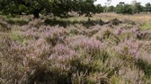 funda : Common heather (Calluna vulgaris), De Meinweg National Park, Netherlands Stok Video