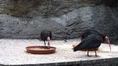 plegadis : Bald Ibis Eating