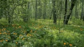 forest : Green grass, orange buttercups and other wild flowers in on a perfect summer day. Stock Footage