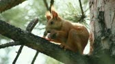 forest : Squirrel sitting on the spruce tree branch and eating cone. Stock Footage