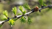 Young branch in spring from Siberian Larch.
