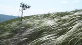 Summer Landscape. Feather Grass Under Strong Wind. Wideo