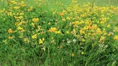 Green spring meadow with yellow flower Stok Video
