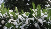 laurel leaves : Snow falling on green leaves