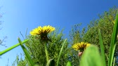 dandelions in spring with blue sky