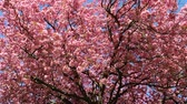 multicolor : pink spring blossoms and a blue sky
