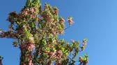 cherry blossom branch : cherry tree in the wind with a blue sky