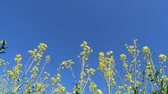 Yellow rape seed field in spring with a bright blue sky Stok Video