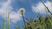 Dandelion in spring with blue sky