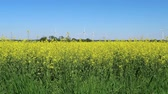 турбина : Yellow rape field in spring with wind turbines