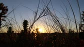 dune grass and sunset at the sea