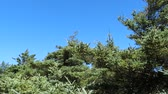 a view : fir trees in the wind Stock Footage