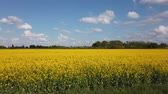 fiori di primavera : Yellow rape seed field in spring with a bright blue sky Filmati Stock