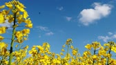 vento : Yellow rape seed field in spring with a bright blue sky Filmati Stock