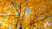 kurutulmuş : Yellow Fall Foliage colors of Maple tree in Autumn Stok Video