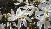 esplêndido : Splendid blossom of white magnolia flowers tremble in the wind over brown and gray background of trees and flowers, side view, close up, Full HD 1080 Stock Footage