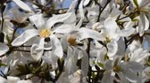 esplêndido : Splendid blossom of white magnolia flowers tremble in the wind over background of trees and blue sky, side view, close up, Full HD 1080