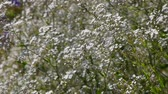 abundante : Gypsophila paniculata common, small white flowers bush, also known as tumbleweed or baby's breath, trembling, shaking in the wind, selective focus