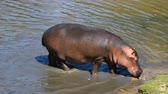 banks : Close up one hippo walking getting out of water to grass river bank sunny day, close up, high angle view